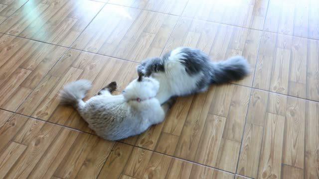 Two cat play video