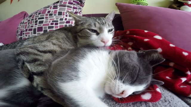 two cats grooming each other - уход за поверхностью тела у животных стоковые видео и кадры b-roll
