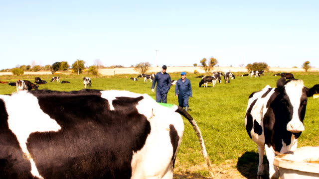 Two cattle farmers interacting with each other while walking in the field video