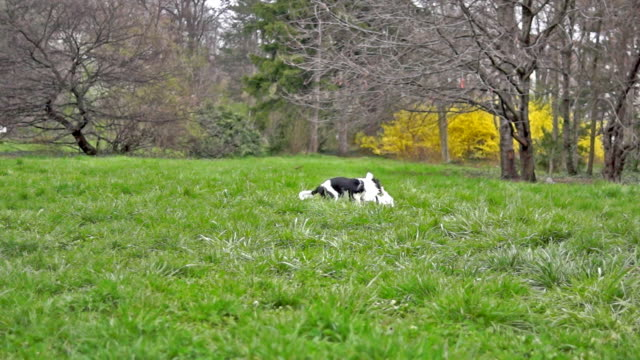 Two cavalier spaniels playing on the grass in slow motion