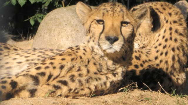 Two cheetahs relaxing- close up video
