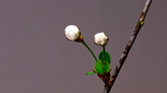 Two cherry flowers blossom bud growing time-lapse closeup macro video