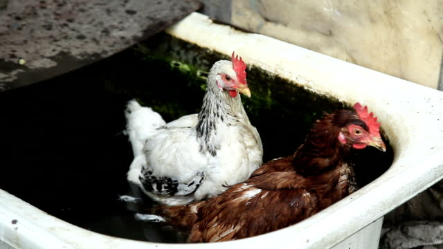 two chickens in water video