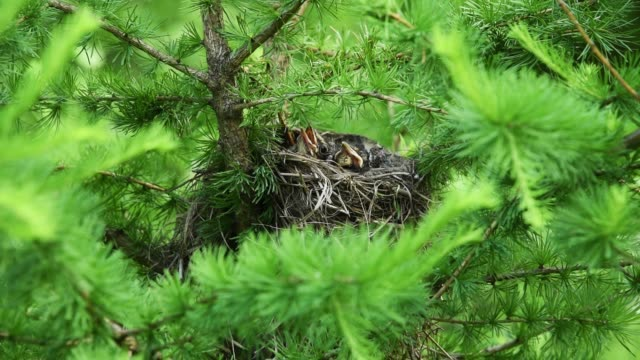 Two chicks in a nest