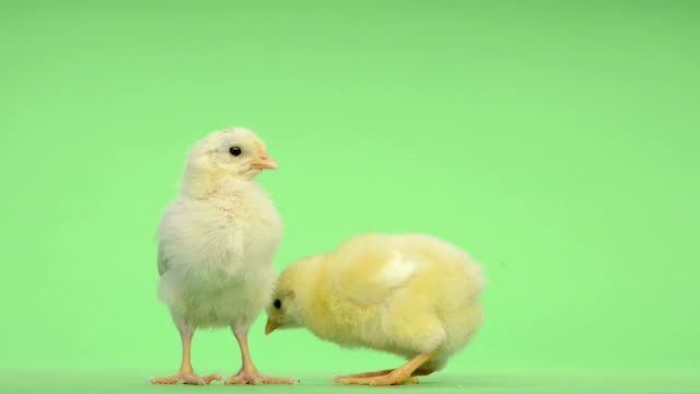 Two chicks standing in front of a green key video