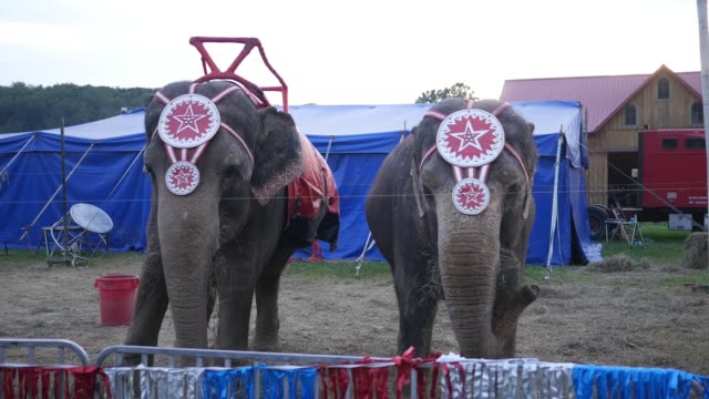 two circus elephants at a county fair eating hay - circus стоковые видео и кадры b-roll