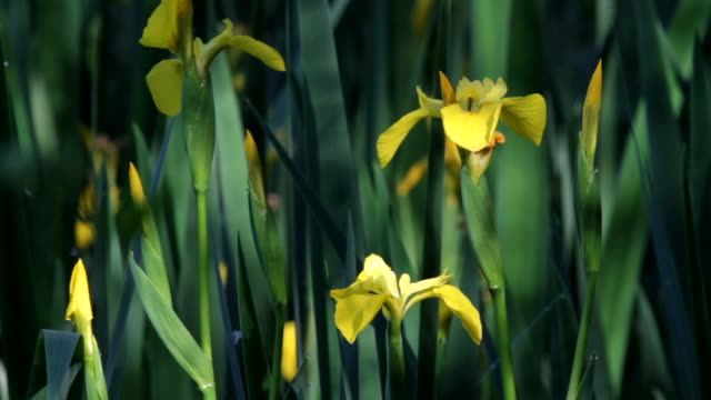 HD video iris marigold yellow flowers at waterside video