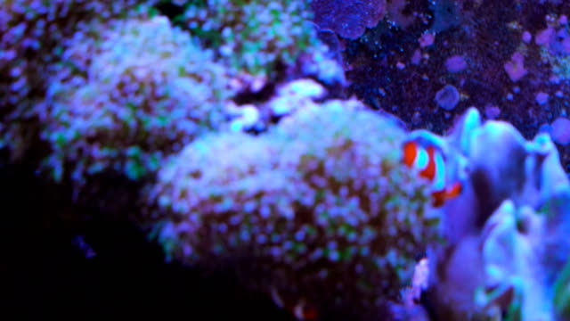 Two clown fish hiding video