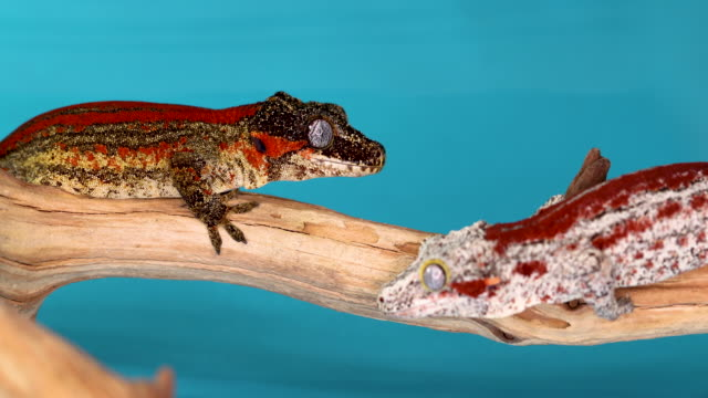 Two Colorful Gargoyle Geckos Facing Each Other On A Branch With Blue Background