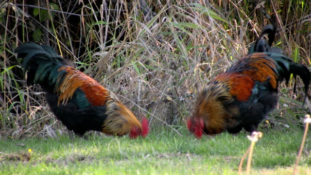 Two colorful roosters pecking around for food Two colorful rooster pecking around in the grass looking for food. scavenging stock videos & royalty-free footage