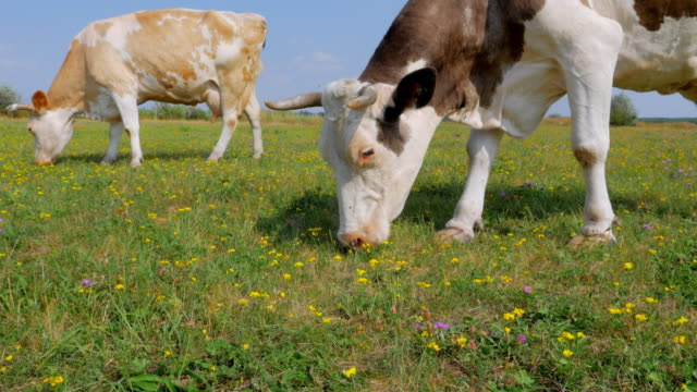 Two cows grazing on meadow video