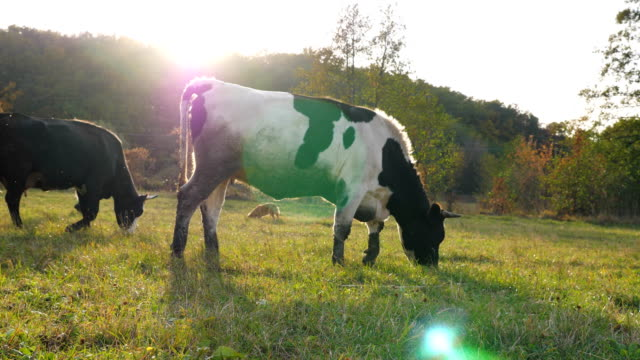 two cows walking on sunny lawn and eating fresh green grass. friendly animals grazing in meadow at summer day. cattle on pasture. scenic nature background. farming concept. slow motion - giovenca video stock e b–roll