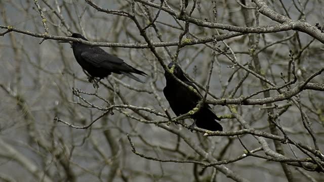 corvi di due - albero spoglio video stock e b–roll