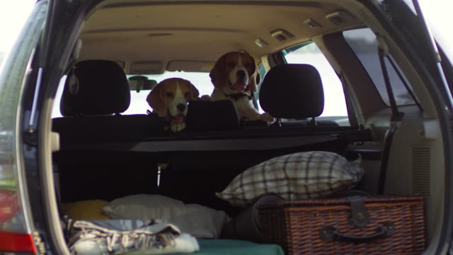 Two Cute Beagle Dogs Waiting for Owners in Backseat of Car - vídeo
