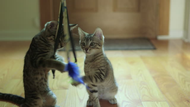 Two Cute Domestic Shorthair Tabby Kittens / Cats Playing with Feline Toy