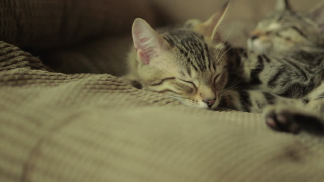 Two Cute Domestic Shorthair Tabby Kittens / Cats Sleeping on Each Other Two Cute Domestic Shorthair Tabby Kittens / Cats Sleeping on Each Other shorthair cat stock videos & royalty-free footage