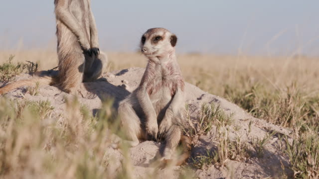 Two cute funny baby meerkats that can't keep their eyes open video