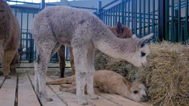 Two cute little alpacas playing together at agricultural animal exhibition