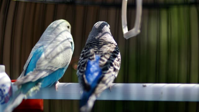 Two cute parakeets looking into the distance in their birdcage
