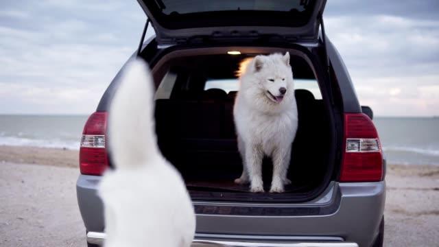 zwei süße samojeden-hunde sind aus dem kofferraum eines autos springen. das auto steht auf dem sand am meer. slowmotion aufnahme - dog car stock-videos und b-roll-filmmaterial