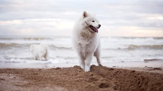 Two cute samoyed dogs are playing on the beach in the sea or ocean together. Slowmotion shot video