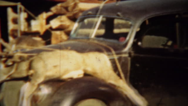 1939: Two dead whitetail deer tied down to Lincoln car hood for transport. video