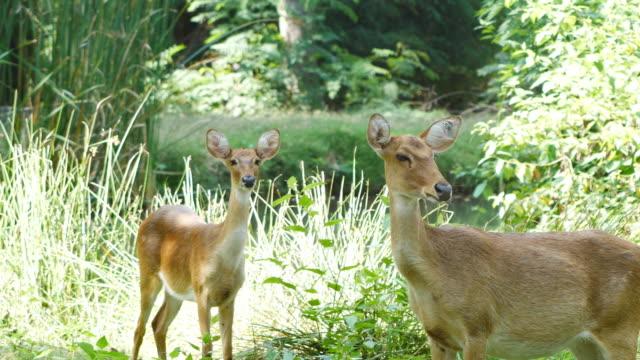 two deer looking at camera - poroże filmów i materiałów b-roll