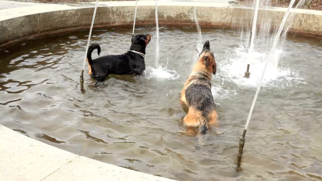 Two dogs in the fountain. Two dogs  in a fountain, trying to catch the water. HD. thirsty stock videos & royalty-free footage