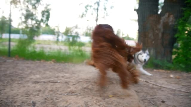 two dogs - irish setter and husky playing two dogs - irish setter and husky playing on the Playground setter dog stock videos & royalty-free footage