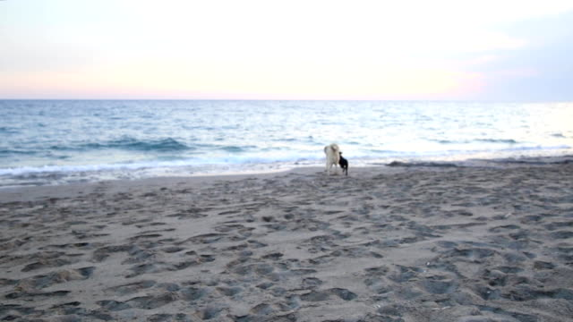 Two dogs playing on the beach video