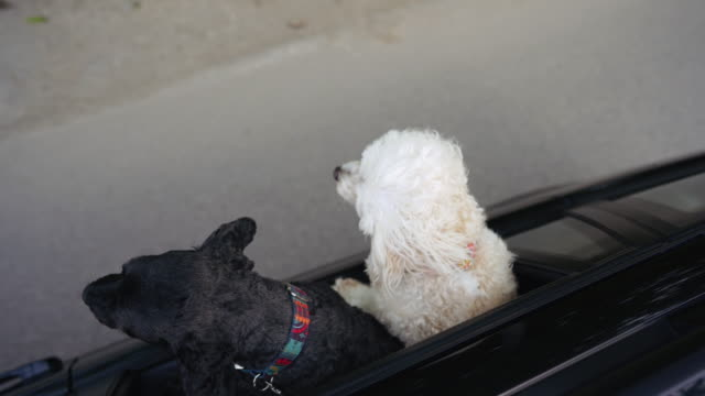 Two dogs riding in car with head out window