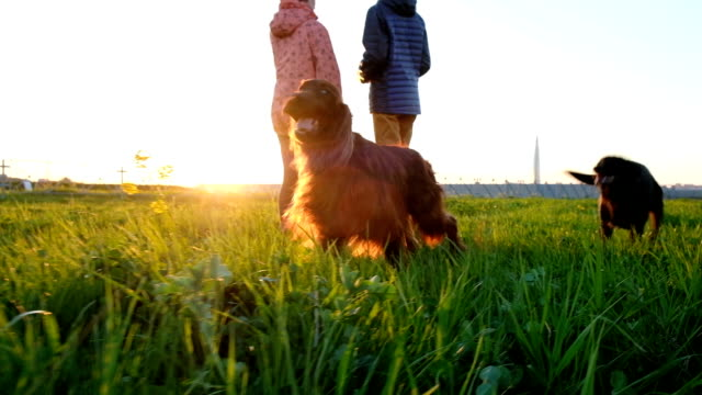 Two dogs running on the grass at sunset Two dogs running on the grass at sunset. irish setter stock videos & royalty-free footage