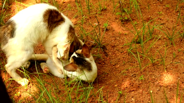 Two Domestic Cats Playing Outdoor video