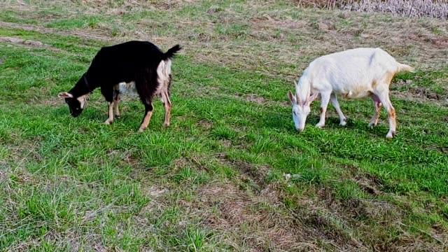 i̇ki yerli keçi çayır yeşil çim yemek, kafaları yükseltmek ve etrafına bakmak. boynunda yaka var. siyah ve beyaz keçi - meme hayvan vücudu bölümleri stok videoları ve detay görüntü çekimi