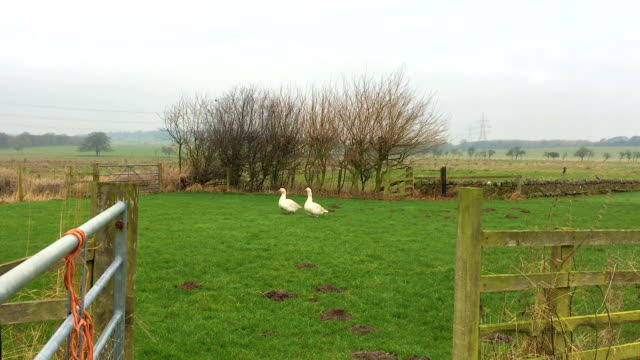 Two Domestic White Geese - Puddle Ducks Through Farm Gate