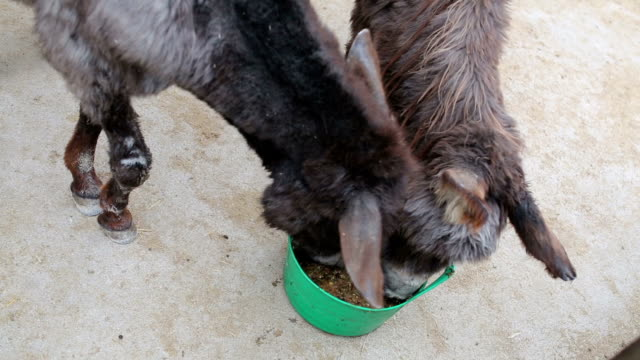 Two donkeys eat from a green bucket video