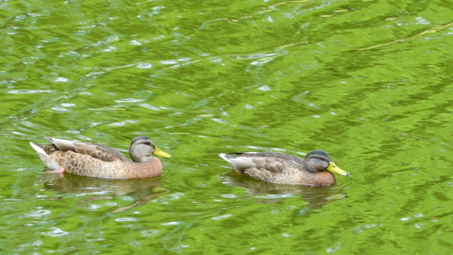 Two ducklings swimming on the pond water video