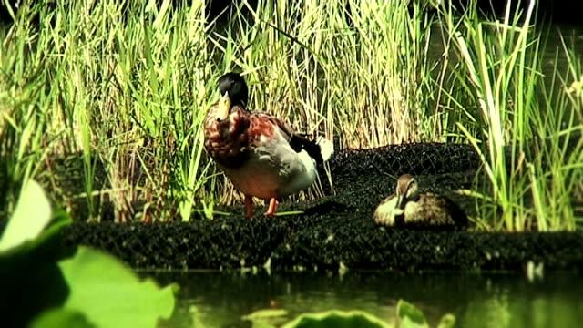 두 오리 한 바하이 연못 (애너모픽 16:9 - 클립 길이 스톡 비디오 및 b-롤 화면