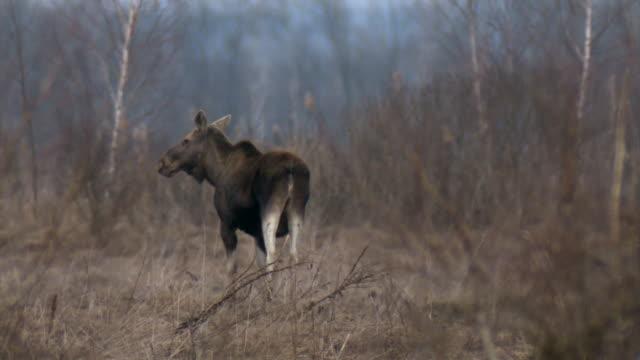 zwei elche im frühjahr - elch stock-videos und b-roll-filmmaterial
