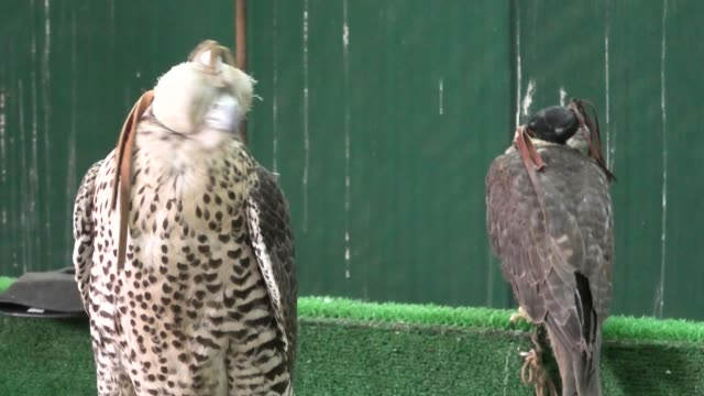 two falcons at doha souq - souk video stock e b–roll