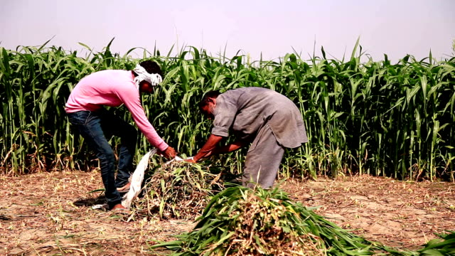 Two farmer working in the green field video