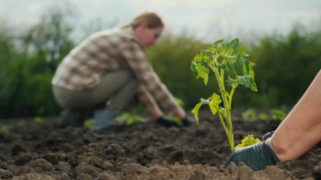 Two farmers plant tomato seedlings in a field video