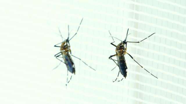 zwei weibliche aedes aegypti mücke - moskitonetz stock-videos und b-roll-filmmaterial