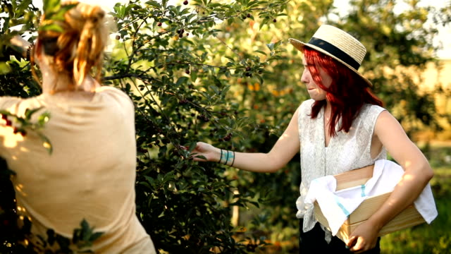 Two female friends enjoying picking up cherries in orchard
