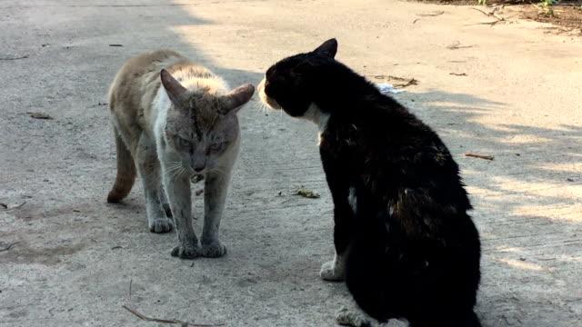 戦うために準備する 2 つの野生の猫 - 対立点の映像素材/bロール