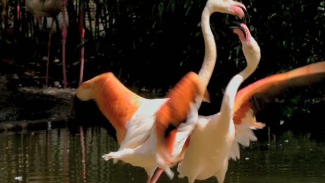 stockvideo's en b-roll-footage met twee flamingo's vechten - snavel