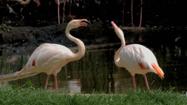 Two flamingos fighting video
