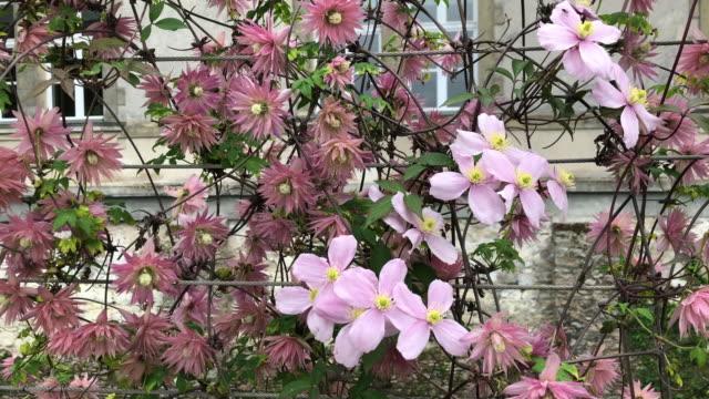 two flowering varieties of clematis growing on a fence in france in springtime - powojnik pnący filmów i materiałów b-roll