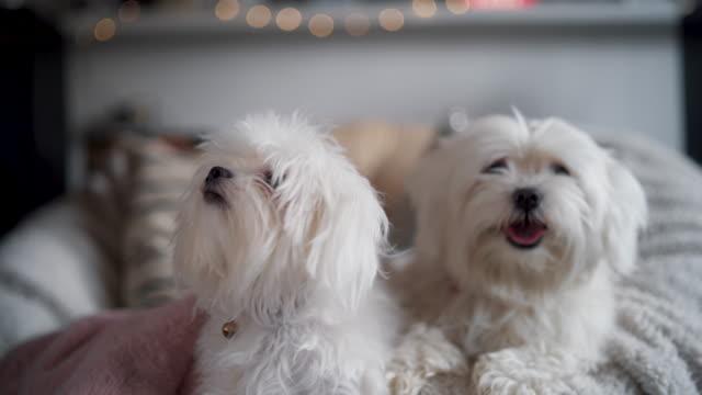 vídeos de stock e filmes b-roll de two fluffy maltese dogs - fofo texturizado