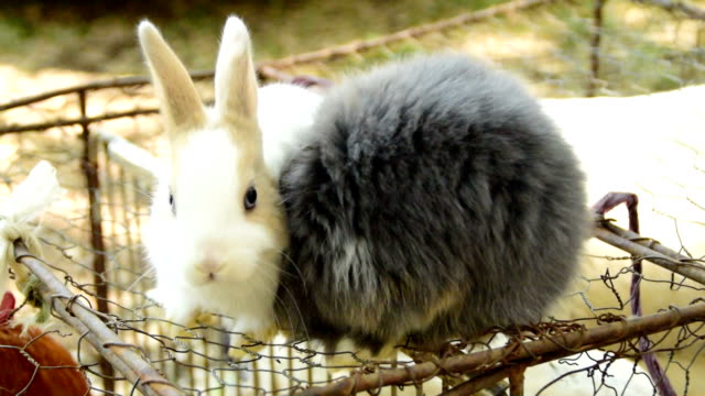 Two fluffy rabbits kissing